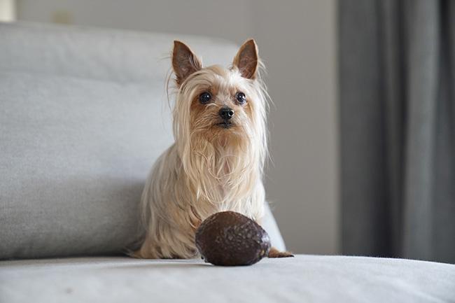 犬はアボカドを食べても良いの?そんな疑問にお答えします!
