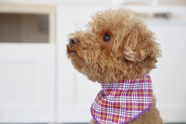 犬に手作りの首輪を作ってみませんか?簡単に作れる方法もご紹介