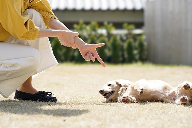犬の人気芸「バーン」を教え方をご紹介
