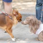 2016散歩中に他の犬に吠えてしまう。困った行動を止めさせるためには?