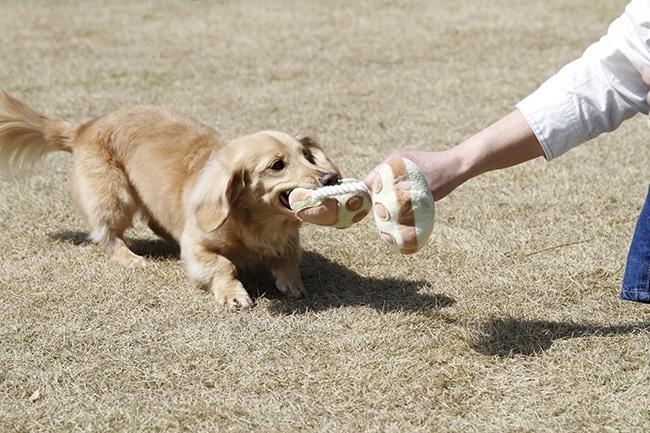 犬と引っ張りっこを使って賢く遊びましょう!