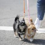 1685散歩中に犬が引っ張る際の犬の気持ちと引っ張り対策・対処法をご紹介