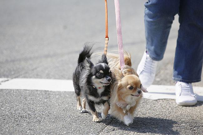 散歩中に犬が引っ張る際の犬の気持ちと引っ張り対策・対処法をご紹介