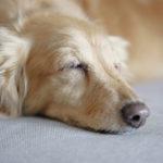 1907犬の寝言に意味はあるの?よくある就寝中の行動や病気との関連について