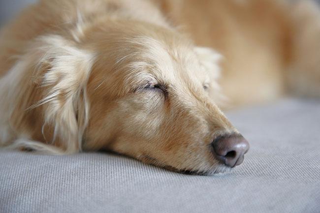 犬の寝言に意味はあるの?よくある就寝中の行動や病気との関連について
