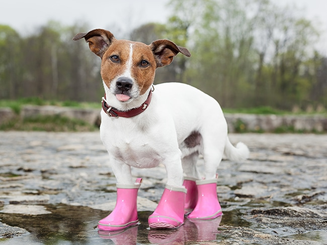 犬用の長靴で雨の日のお散歩嫌いを克服しましょう!