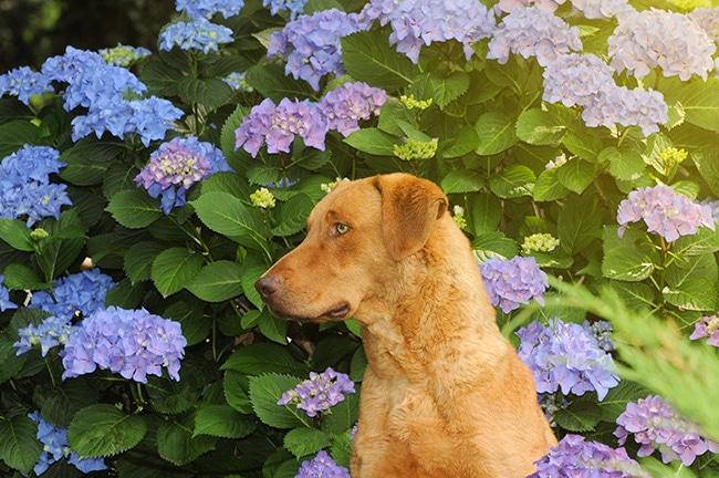 梅雨の時期には愛犬と一緒に紫陽花を見て癒されましょう!