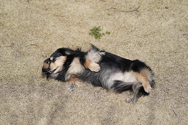 犬に「ごろん」(へそ天)を教えたい!教え方のコツをご紹介!