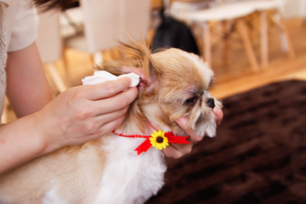 犬の耳掃除のやりかた・ケア方法を詳しくご紹介