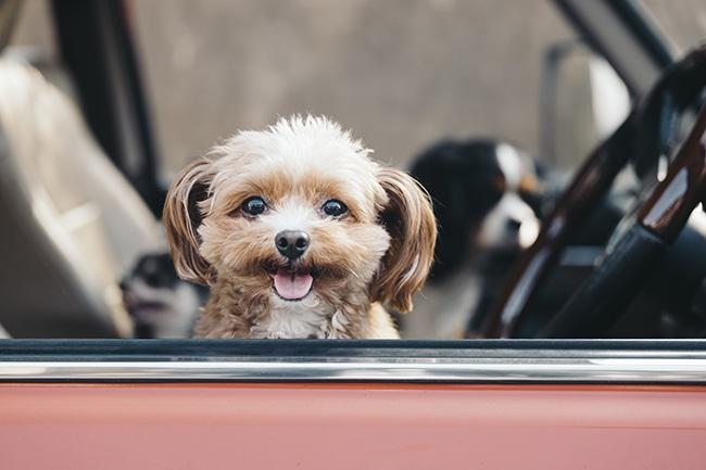 犬とのドライブで安全のために気をつけたいポイントやコツをご紹介