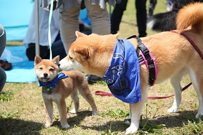 豆柴と柴犬の違いって?人気絶頂の柴犬を比較してみました。