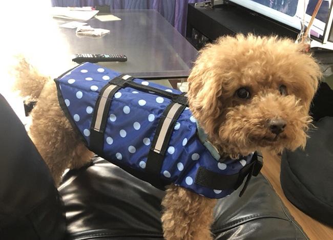 愛犬にライフジャケットを着せて水泳を楽しもう!