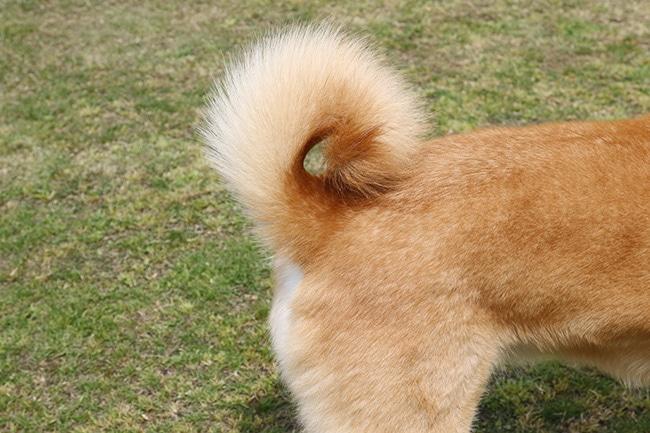 犬が自分のしっぽを追いかける理由って何んだろう?