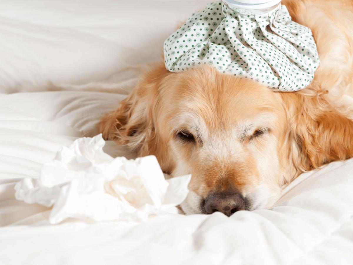 犬も風邪ひくの?原因と症状・状態別の治療法や病院へ行くタイミングについて