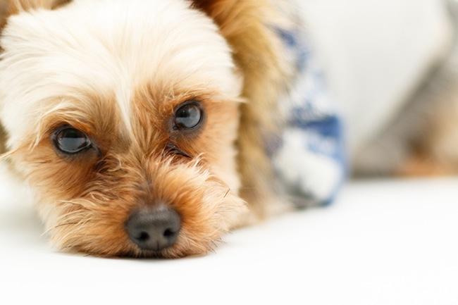 愛犬の目ヤニを何とかしたい!原因と対策をご紹介