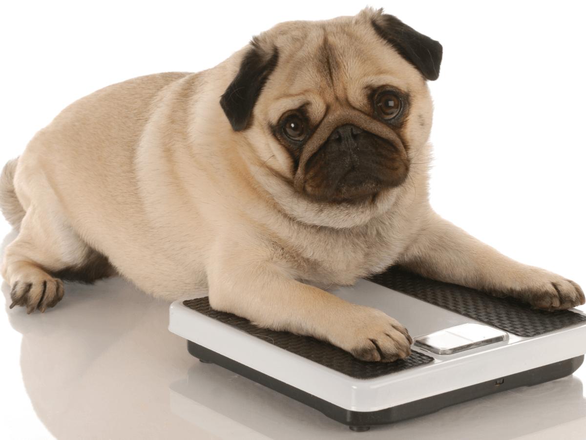 肥満用のドッグフードはどんな基準で選べばいいの?ダイエットをさせて愛犬の健康を守ろう