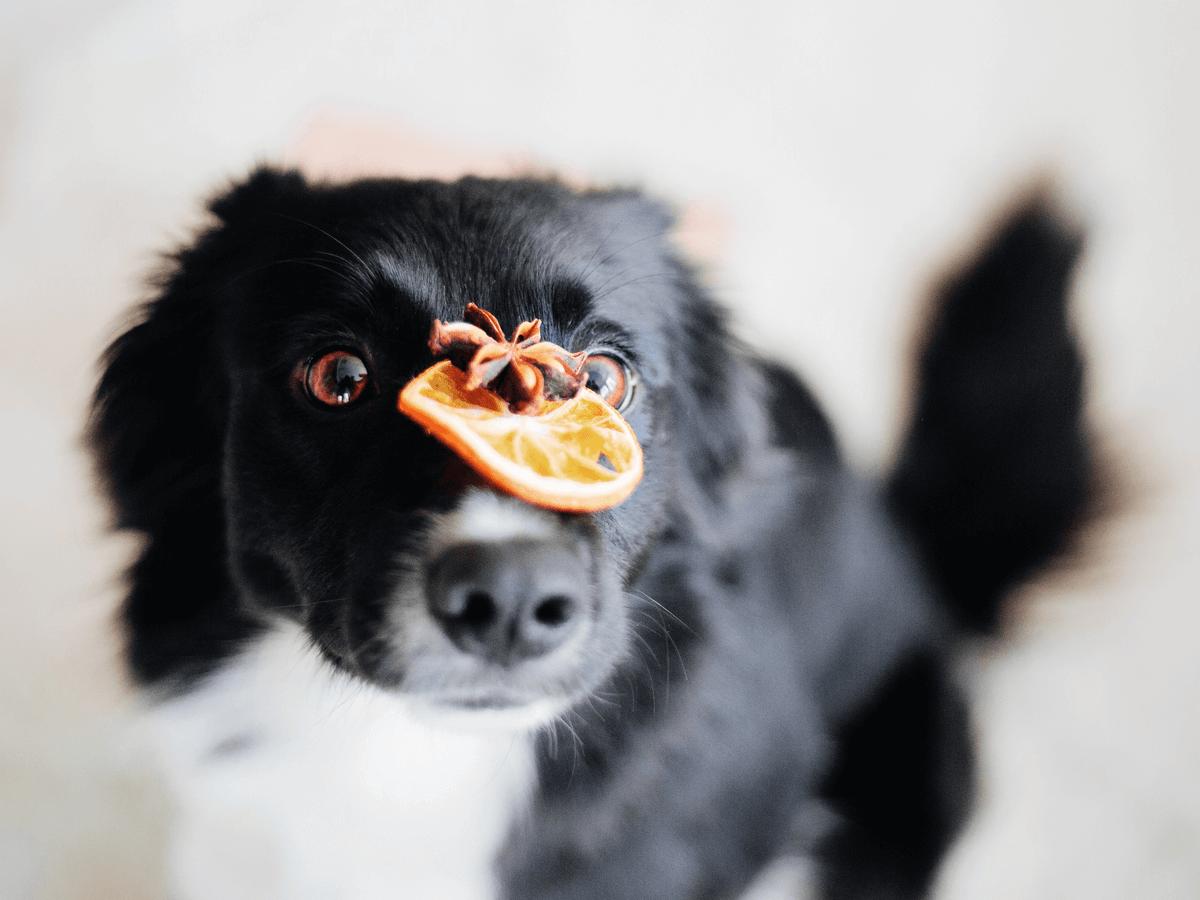 犬にドライフルーツを与えても大丈夫?中毒に気をつけたい4つの代表的な果物とは