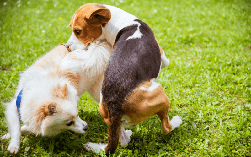 犬がマウンティングを行う理由6つとやめさせる方法4つ 原因を知って対策をとろう