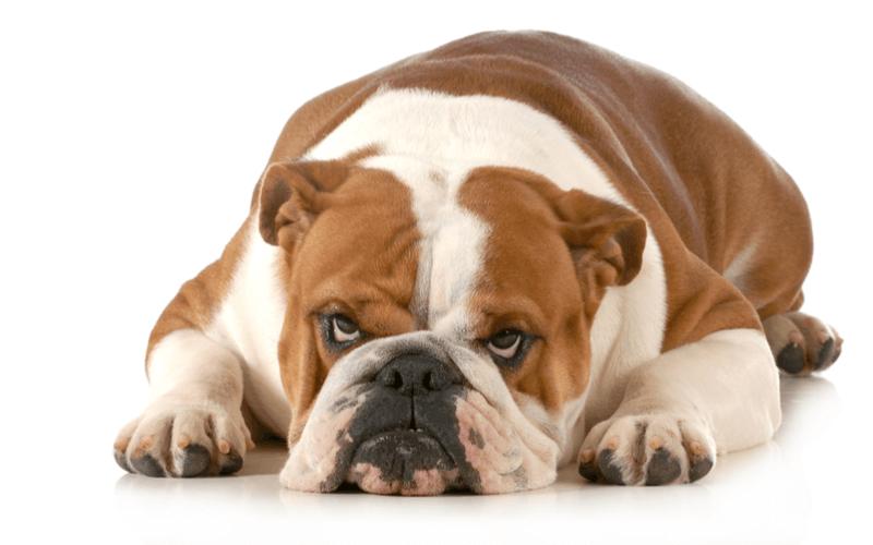 犬が唸るのはなぜ?その理由6つとそれぞれの直し方を知っていこう