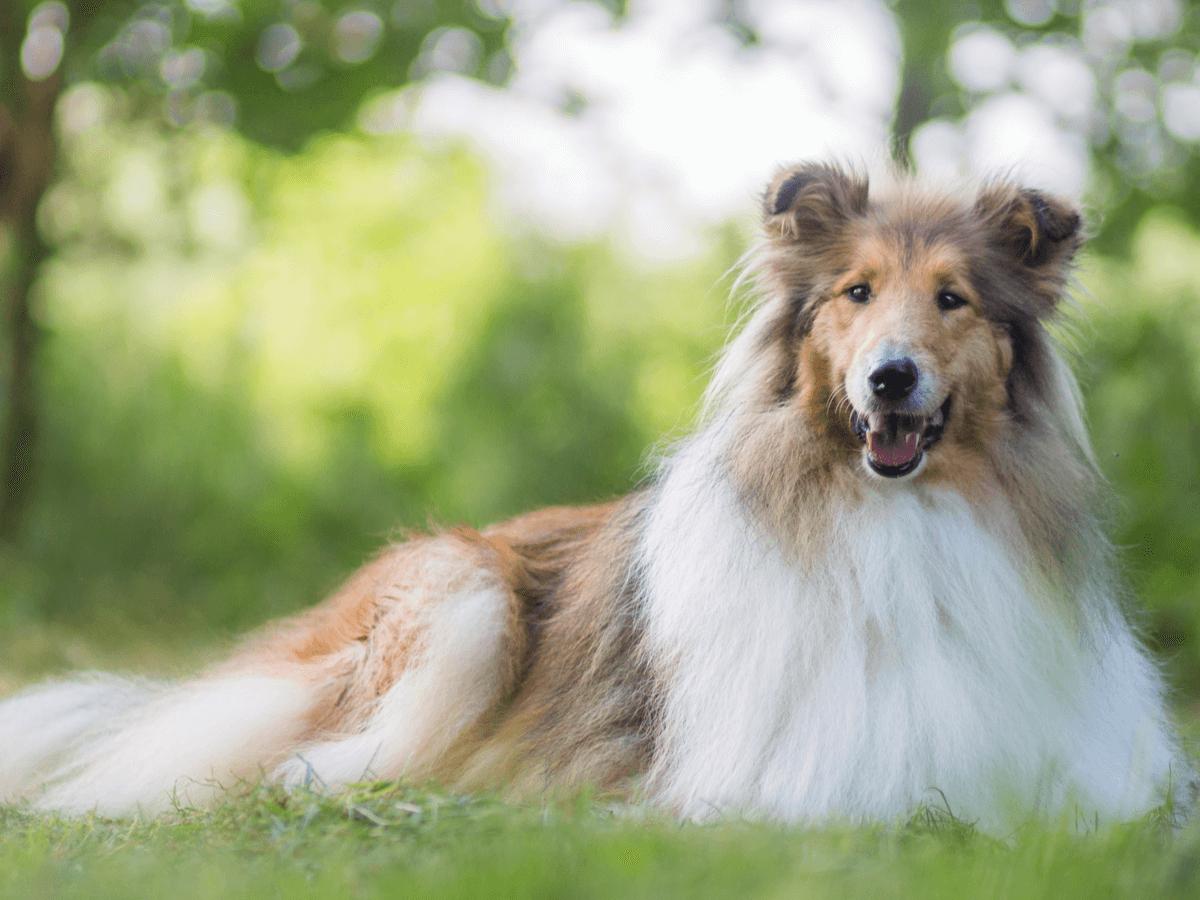 ラフコリーは賢くて優しい性格の持ち主!迎える前に覚えておきたい飼い方・かかりやすい病気
