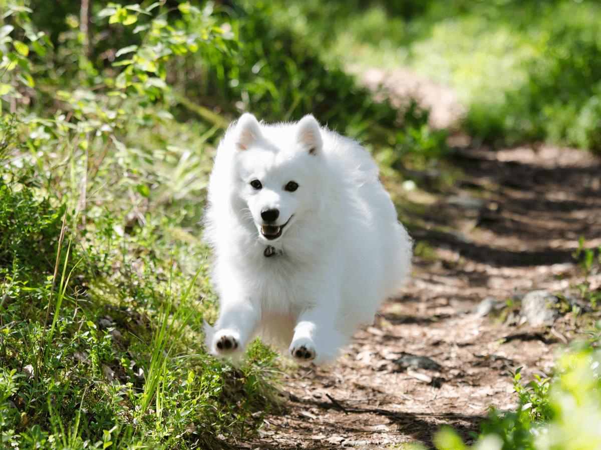 日本スピッツは飼い主に従順で飼いやすい犬種!性格に合わせた飼育方法や迎える上で注意すること