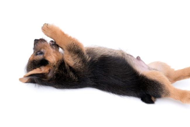 寝転んで遊ぶ黒い子犬の画像
