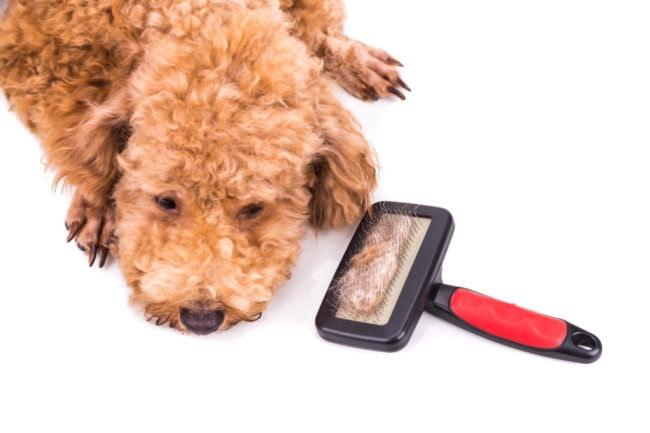 換毛期に向けてブラッシングをされた犬の画像