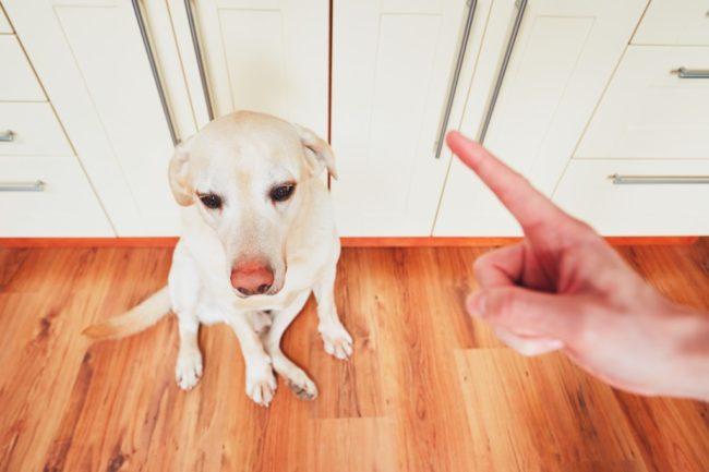 飼い主の言うことが理解できない犬の画像