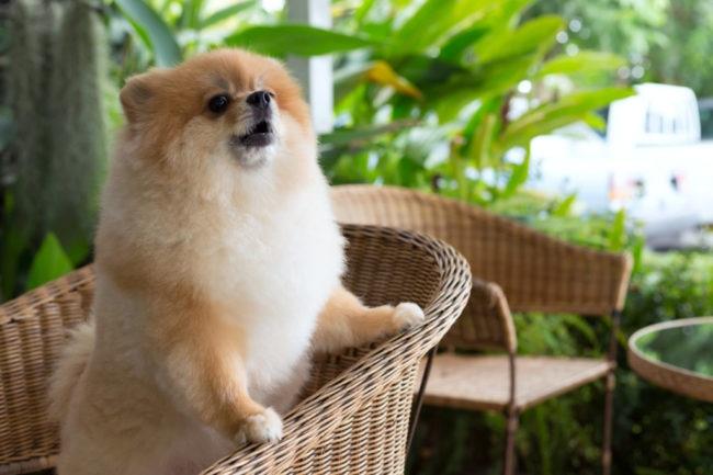 吠えるポメラニアン犬の画像