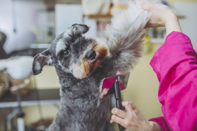 犬の換毛期はいつ?抜け毛が多い犬種と手入れ方法をご紹介!