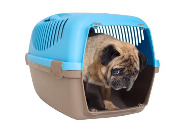 ケージ(クレート)に入ったパグ犬の画像