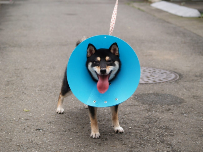 エリザベスカラーをつけてご機嫌な子犬の画像