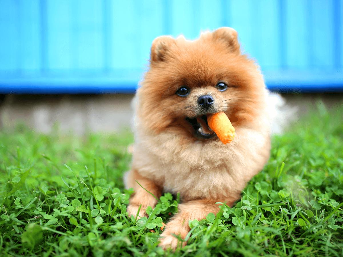 犬に「にんじん」を与えても大丈夫?適量と注意点を守って正しく食べさせよう