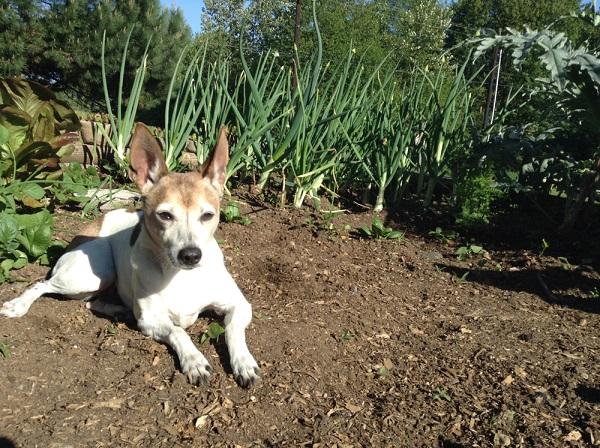 犬がネギを食べてはいけない理由とは?食べてしまった際の中毒症状と対処法