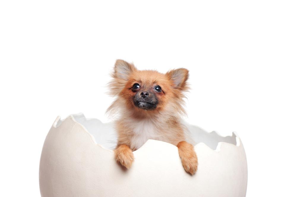 犬は卵を食べても大丈夫?ゆで卵は?与える際の注意点と栄養素について